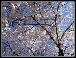 Cherry Blossom Tree DC by Paperback-writer-00