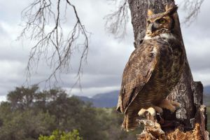 Great-horned Owl by Nerwign