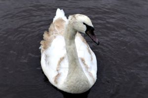 Young Swan by creative-photo-uk
