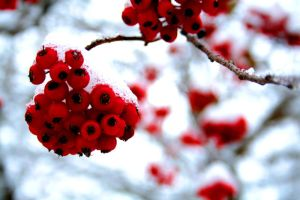 Winter Berries by Jugglephoto