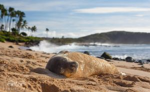 Monk Seal - Molokai, Hawaii by Bakisto