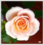 perfect peach rose 2 by GeaAusten