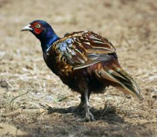 Pheasant by positively