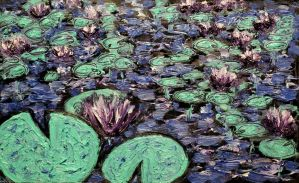 The Night-blooming Water Lilies by IvanRadev
