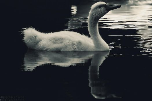 Little Swan by AljoschaThielen
