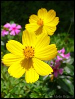 Yelow Flowers in the Sun by MaJuSaBe