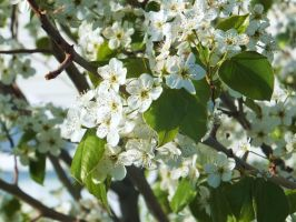 Crabapple Blossoms 2 by XxSilverOwl13xX