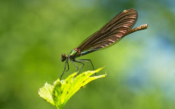 Damselfly by starykocur
