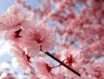 Cherry Blossom by jiaaini