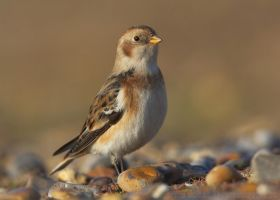 Snowbunting by Albi748