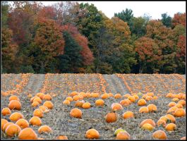 Rows and Rows of Pumpkins by Michies-Photographyy