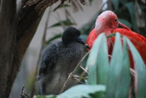 scarlet ibis 4.2 - mom and juvenile by meihua-stock