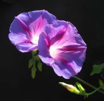 Purple Morning Glory 8.08 by Artsee1