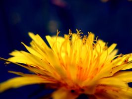 Beauty in Sowthistle by ausrejurke