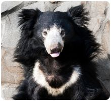 Sloth Bear Squint at the Sun by OrangeRoom