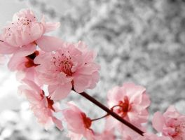 Cherry Blossoms~ by Cheshire--Katt