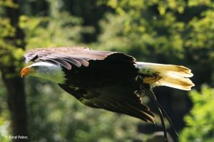 Bald Eagle / Weisskopfseeadler 11 by bluesgrass