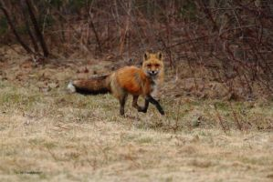 Fox Trot by natureguy