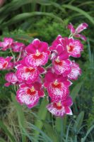 Pink Red White Orchids by CASPER1830