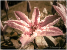 clematis by Gex78
