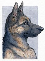 German Shepherd by Zajiru