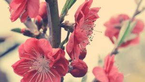 Rosaceae -Wallpaper by Lodchen-Photography