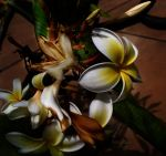 Frangipani by creativemikey