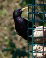 startled starling by awjay