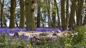 Bluebell Wood by ERB20