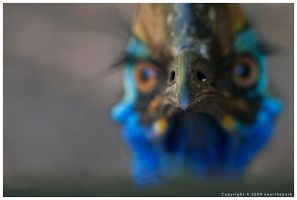 Cassowary is Wary by nearthepark