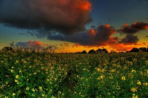 Rapeseed by chevyhax