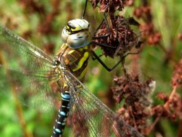 Southern Hawker Male by iriscup