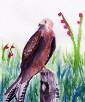 Red Kite - aquarelle practice by Saliona93