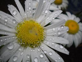 Rain kissed flower stock by thiselectricheart