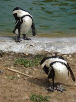 Synchronized scratching penguins by Reyphotos