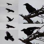 Raven Pack by Tasastock