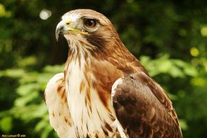 Red-Tailed Hawk by luvbight