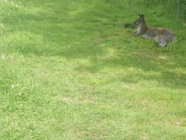 Wallaby by Singing-Wolf-12