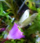 European Cabbage Butterfly by Lupsiberg