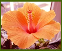 Hibiscus by eRiver