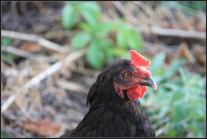 Rooster by fisher57