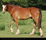 Clydesdale X by SalsolaStock