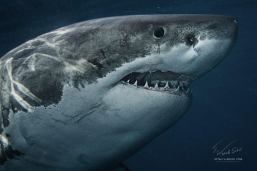 Great White Smile by Vitaly-Sokol
