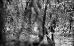 Leopard by sarith21