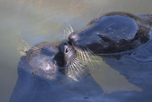 Snogging Seals by JRL5