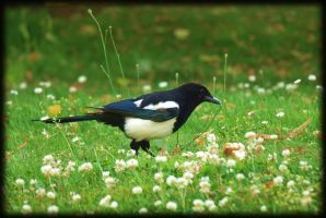Me Pica Pica European Magpie by pagan-live-style