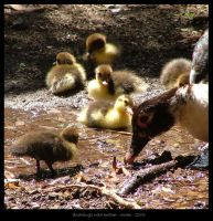 Ducklings with mother by rowanseymour