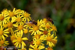 two hoverflies by Priddlee