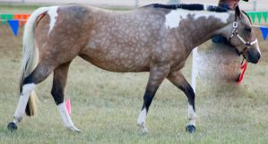 QH Buckskin paint walk 4 by Chunga-Stock