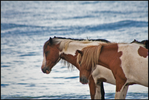 Assateague Ponies by The--Working-Wulf